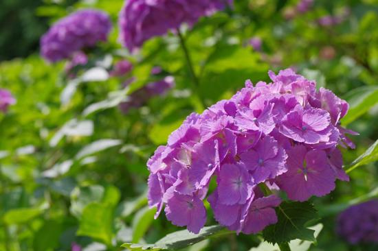 2018年東京の紫陽花